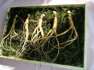 Ginseng a very potent testosterone booster